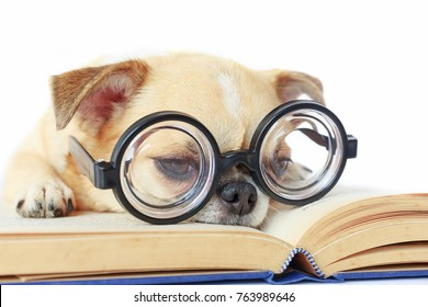 Chihuahua dog wear nerd glasses for read book.