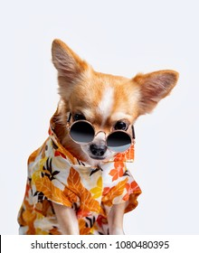 Chihuahua dog wearing a fresh color.Put on black glasses on a white Background.