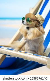 Chihuahua dog wearing hats and sunglasses lying in the beach chair. Summer Holidays concept.