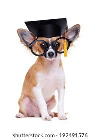 chihuahua dog wearing mortar board hat