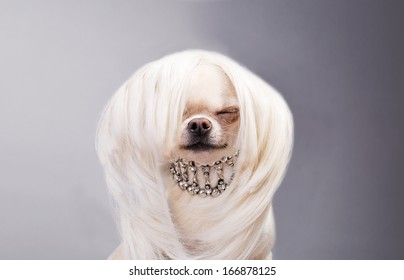 chihuahua dog in wig and with necklace sitting with closed eyes