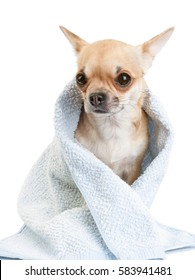 Chihuahua dog wrapped in  blue towel after bath  close-up isolated on white background