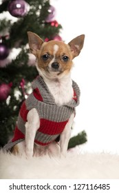 Chihuahua dressed and sitting in front of Christmas decorations against white background