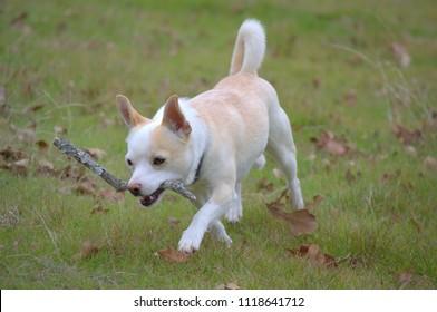 Chihuahua fetches stick