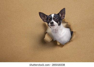 Chihuahua head out of paper