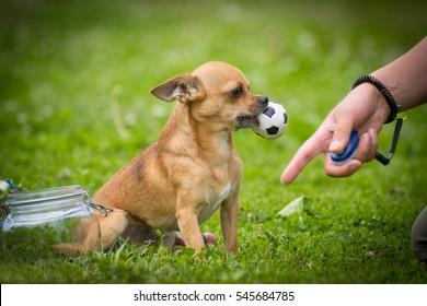 Chihuahua hält einen Ball