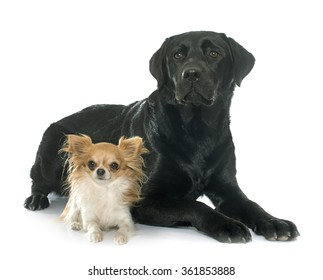 chihuahua and labrador retriever in front of white background