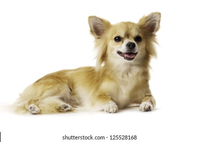 Chihuahua Laid Down Looking at the Camera Panting Isolated on a White Background
