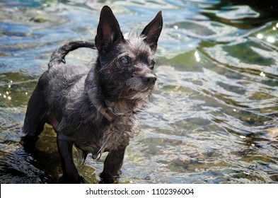 A Chihuahua in a lake