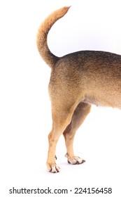 Chihuahua legs tail