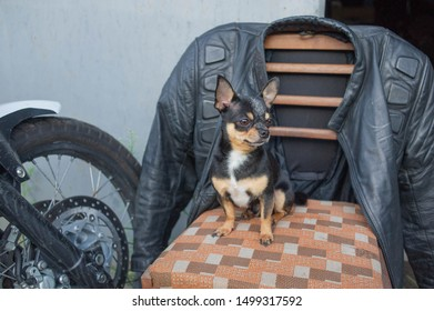 chihuahua little dog. Chihuahua sitting on a chair.A dog sits near a motorcycle and a motorcycle jacket and near the entrance to garage. Black white brown color of chihuahua dog.Brutal dog.Minik pet