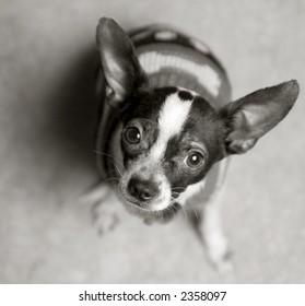 Chihuahua looking at camera