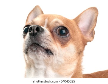 Chihuahua looking up close-up isolated on white