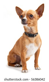 Chihuahua looking up on the white background in the studio