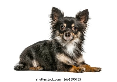 Chihuahua lying, isolated on white