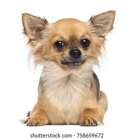 Chihuahua lying and looking at camera against white background