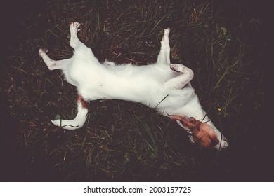 Chihuahua liegt auf dem Gras