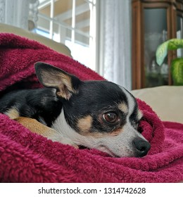 Chihuahua, in magenta pink towel, resting on the sofa in a modern home at close-up