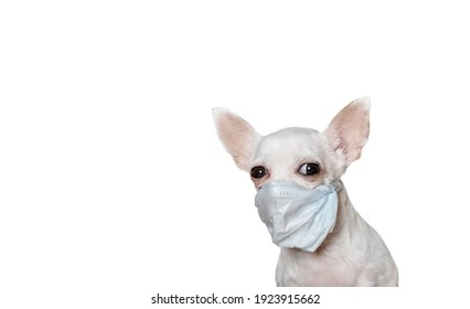 Chihuahua in a medical mask to protect against the virus sits on a white background banner and looks into the camera. Studio photography of a small dog.