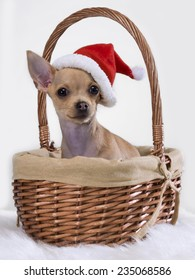 Chihuahua mexican inside a basket and a Santa Claus hat
