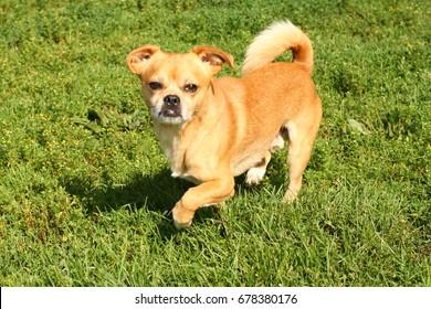 Chihuahua Mix