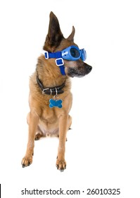 chihuahua mix dog with goggles on
