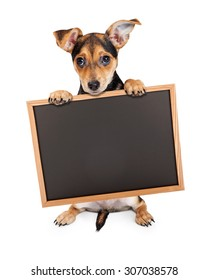 Chihuahua Mixed Breed Three Month Old Puppy holding blank chalk board to enter your marketing message onto