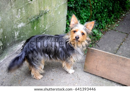 Chihuahua Mixed Yorkshire Terrier Standing On Stock Photo Edit Now