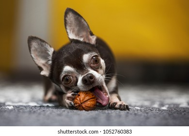 chihuahua with a nut
