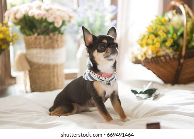 Chihuahua on the bed