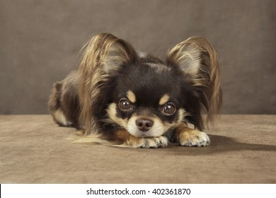 Chihuahua on brown background