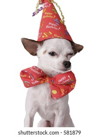 chihuahua on a white background in a birthday hat