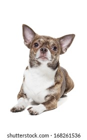 chihuahua on a white background in studio