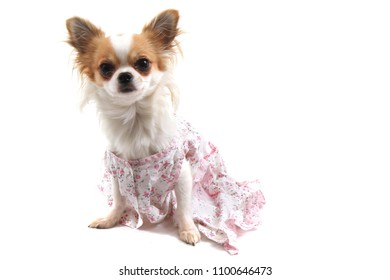 chihuahua in the pink clothes isolated on the white background