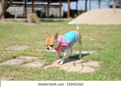 Chihuahua playing on the ground.