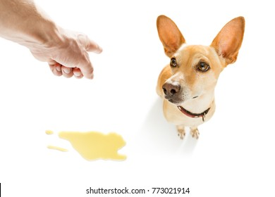 chihuahua podenco dog being punished for urinate or pee  at home by his owner, isolated on white background