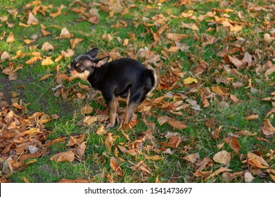 Chihuahua poop. A small dog, a black and brown-white Chihuahua, went for a walk to go to the toilet.Dog pooping on the grass in autumn. The pet knows where to poop. A series of photos with a chihuahua