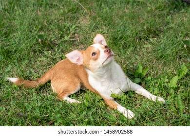 Fawn Chihuahua Images, Stock Photos & Vectors | Shutterstock