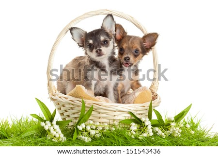 Teacup Chihuahua Rescue
