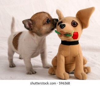 Chihuahua puppies smelling a chihauhau stuffed animal