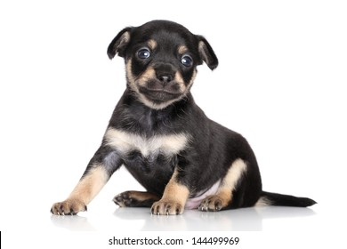 Chihuahua puppy (1 month) sits on a white background