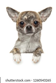 Chihuahua puppy above banner, isolated on white background. Baby animal theme