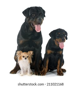 chihuahua, puppy and adult rottweiler in front of white background