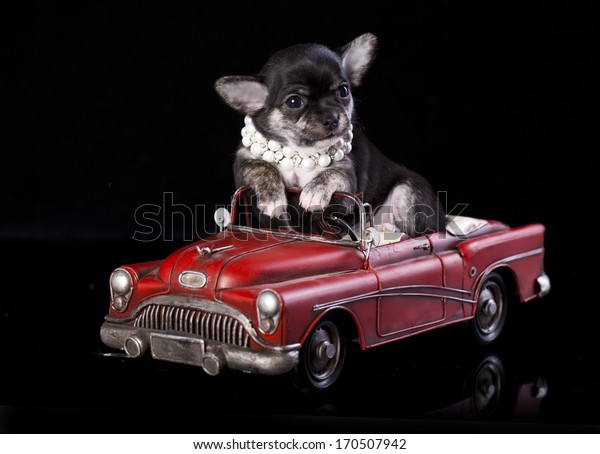 Chihuahua puppy the age of 2 month in retro car