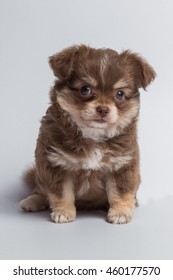 Chihuahua puppy brown fur on white background
