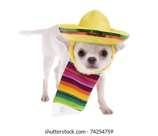 Chihuahua puppy dog wearing a colorful mexican serape blanket leaning down cowering with sombrero on head, isolated on white.
