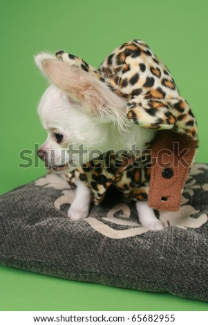Chihuahua Puppy Dressed Panther Clothes Stock Photo Edit Now