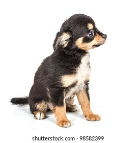 Chihuahua puppy in front of white background