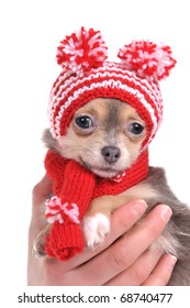Chihuahua puppy with funny hat with two pompoms