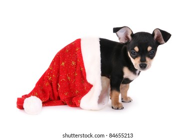 Chihuahua puppy into christmas hat